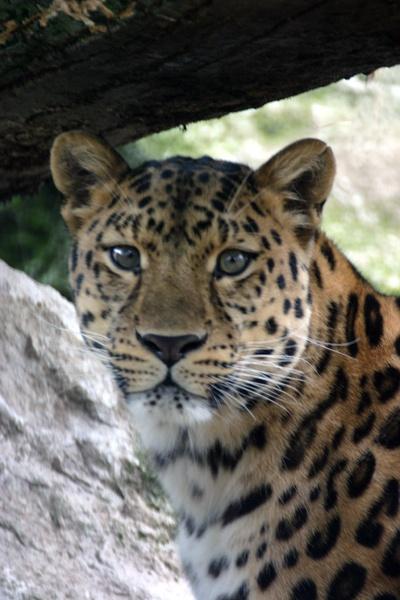African Leopard by SteveMoulding