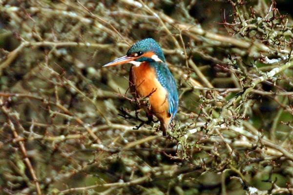 Kingfisher #2 by SteveMoulding