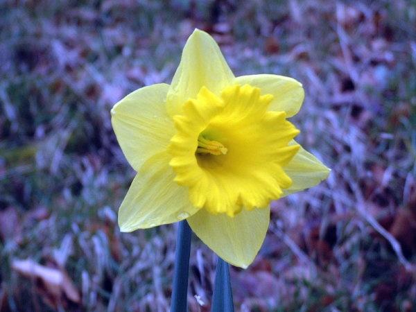 Daffodil by spug1850