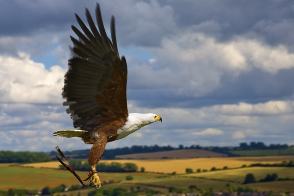 African Fish Eagle in Flight by s1ngerman