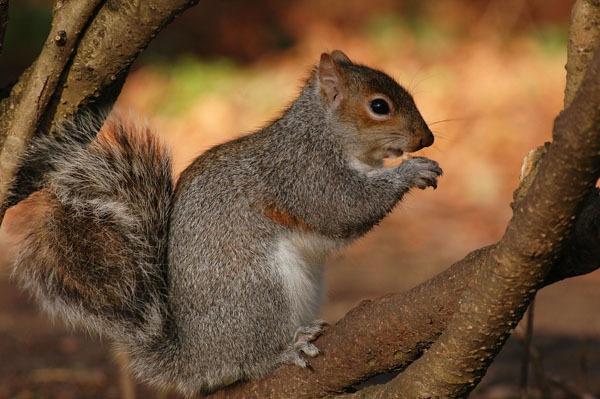 Grey Squirrel by Myles2008