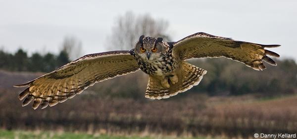 Kaln the Eagle Owl by DEK4
