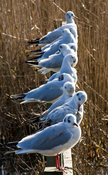 Blackheaded Gulls by davewilliamson