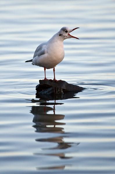 Blackheaded Gull calling by davewilliamson
