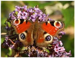 Freddie Mercury Butterfly