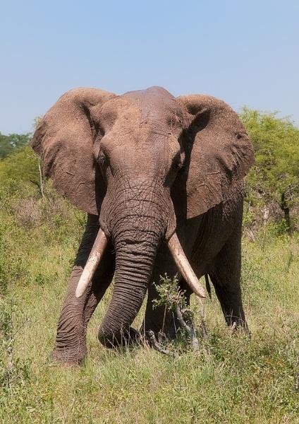 Elephant by John_Wannop