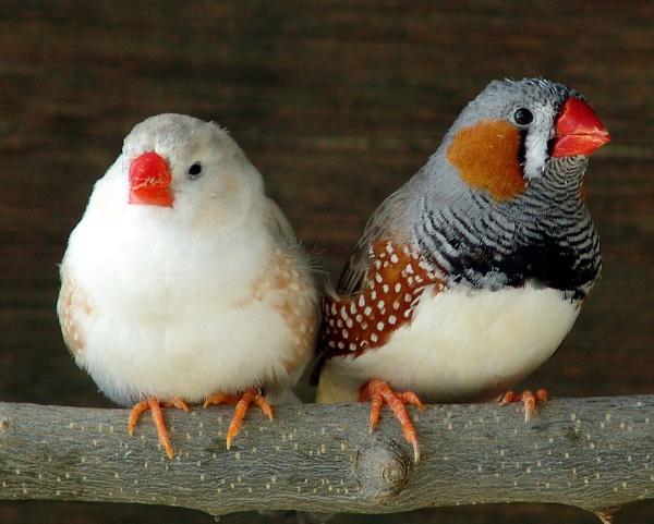 Java Sparrows by Brian_Rodos