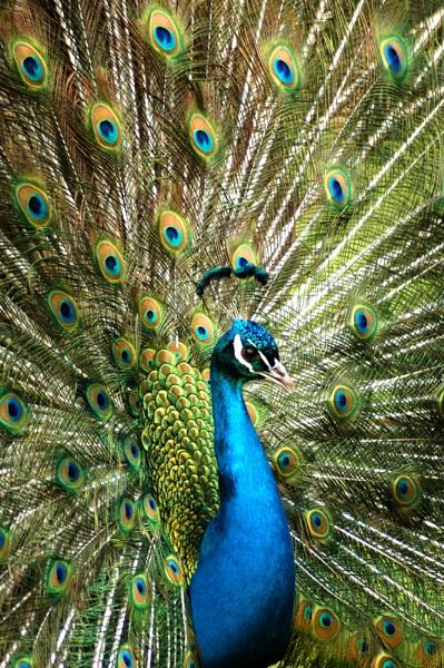 Peacock by wheeldon