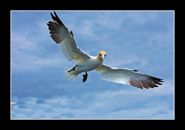 Gannet In Full Flight by jamil