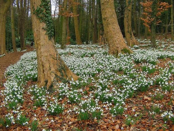 Snowdrop Woods by Glostopcat