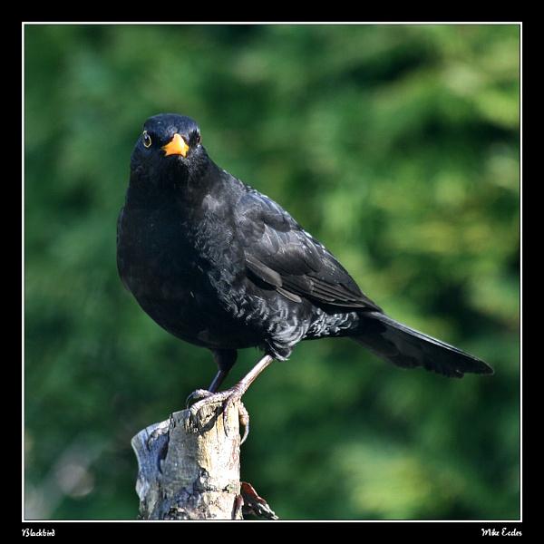 Blackbird by oldgreyheron
