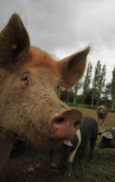 Nosey Porker by steveprice