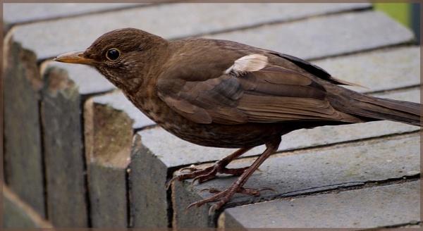 Female black bird by Mikelane