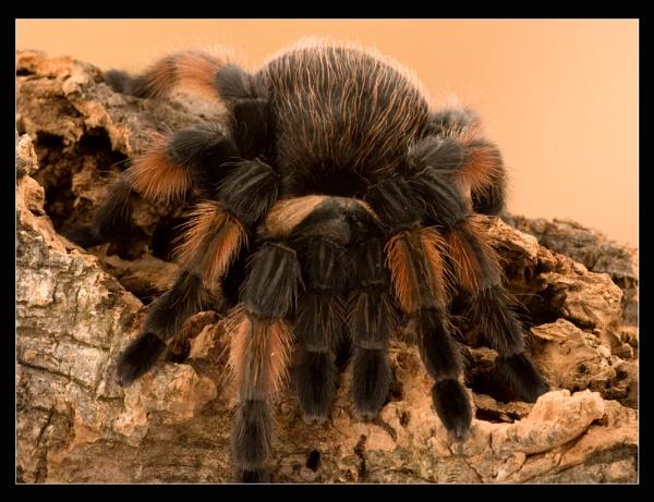 Tarantula by ABiggs