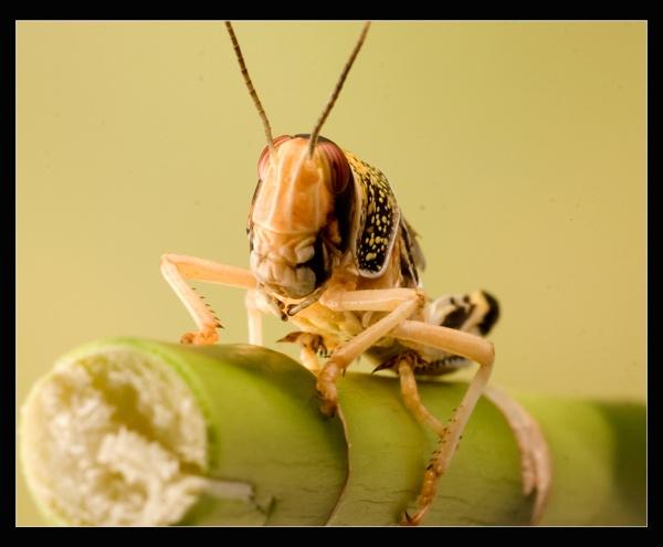 Migratory Locust Hopper by ABiggs