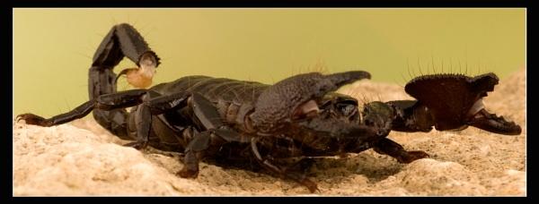 Scorpion by ABiggs
