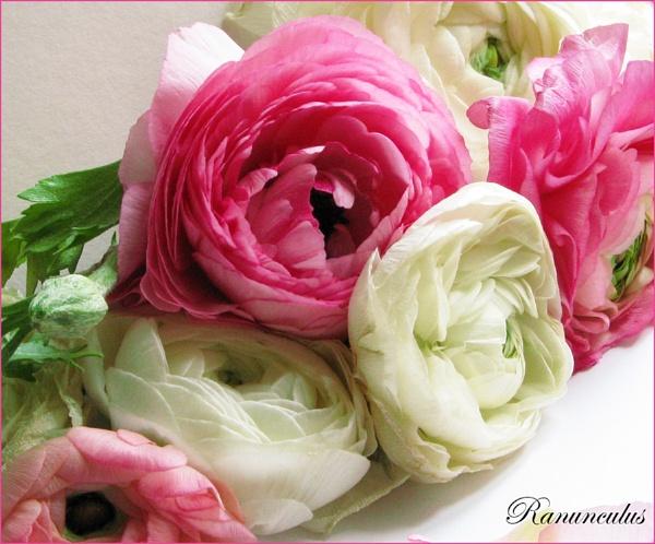Ranunculus 4 by Mewinty