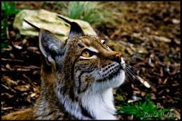 Side-view-Lynx