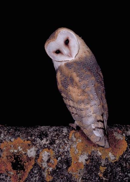 barn owl by chrissharp