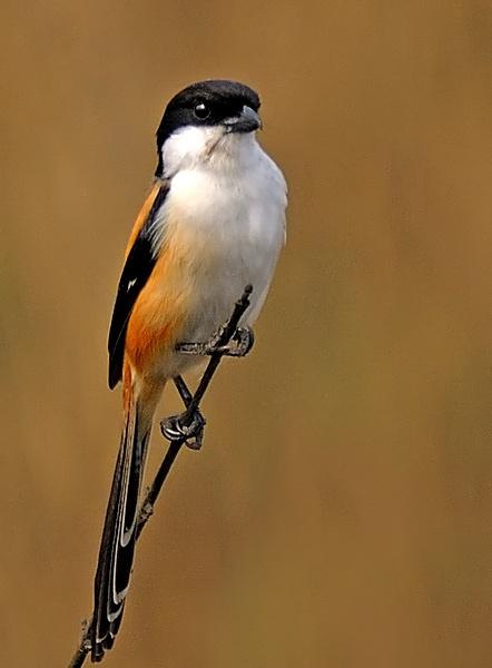 long-tailed shrike by ashis_das
