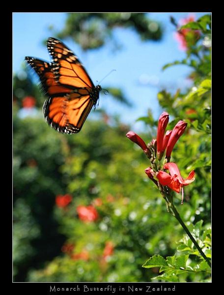 Monarch Butterfly in Flight by SteveNZ