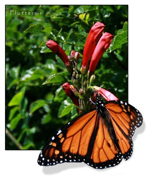 Flutter in by SteveNZ