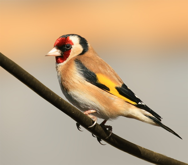 goldfinch by shelldud