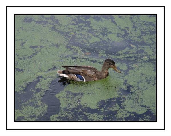 quack quack by RobbieWales