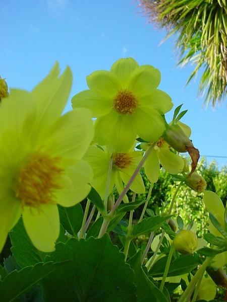 Springtime Daffodils by scuba_steve1888