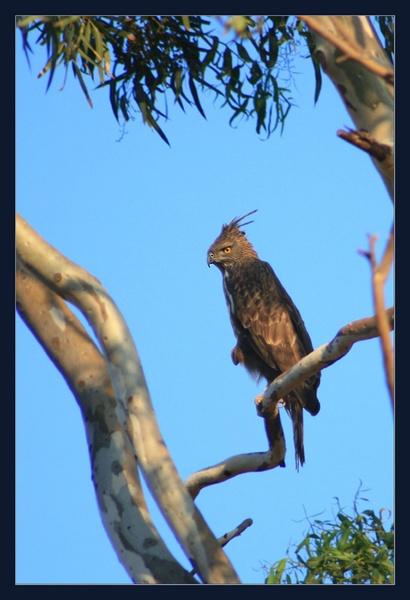 changeable hawk eagle by drjskatre