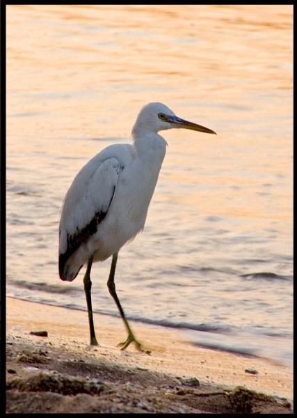 Western Reef Egret by Diane_McCudden