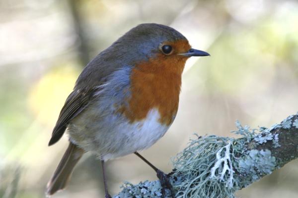 Inquisitive Robin by SteveMoulding