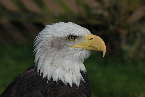 Bald Eagle by Myles2008