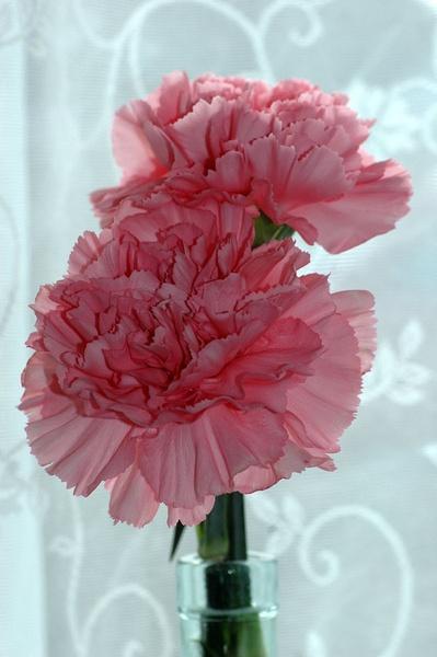 Carnation by Myles2008