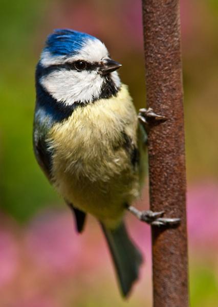 Blue Tit by davewilliamson