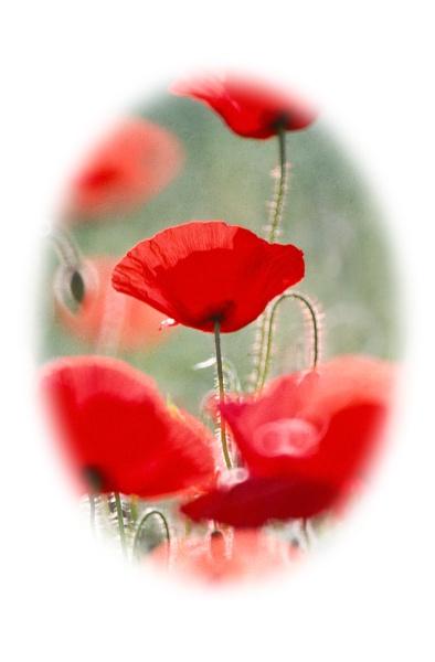 Poppies by davewilliamson