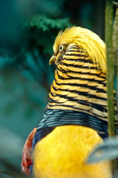 Golden Pheasant by davewilliamson