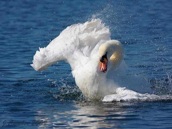 Swan by jack33