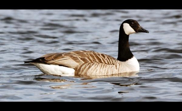 Canadian Goose by kayakercanoe