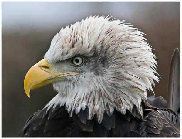 Big Chief Eagle by jayman