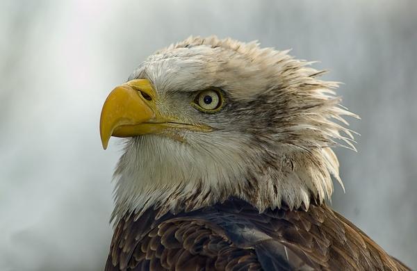 Eagle2 by jayman