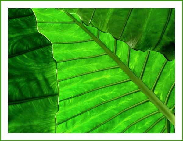 Banana Plant 1 by pamelajean