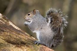 Grey Squirrel Feeding