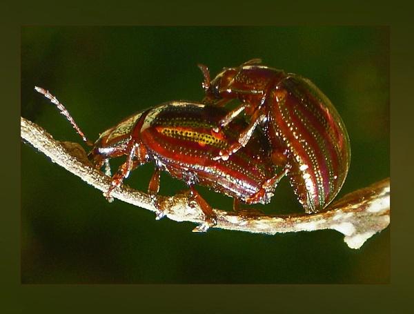 chrysochus auratus by CarolG
