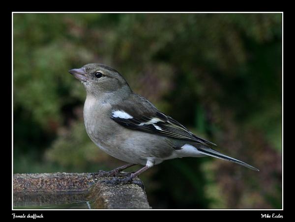 Female Chaffinch by oldgreyheron