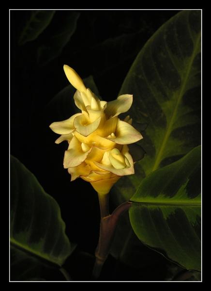Calathea Warscewiczii by Boagman65