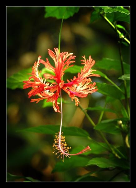 Hibiscus Schizopetalus by Boagman65