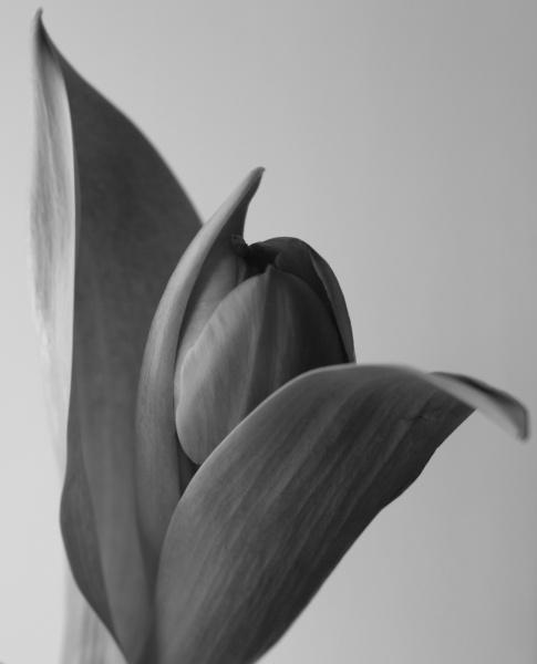 tulip by EDan