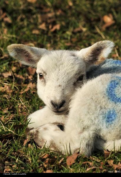 Spring Lambs by rangerpaul