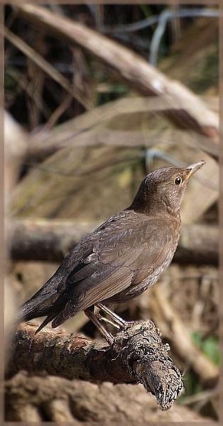 Blackbird by Mikelane
